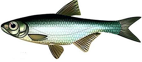 рыба быстрянка фото