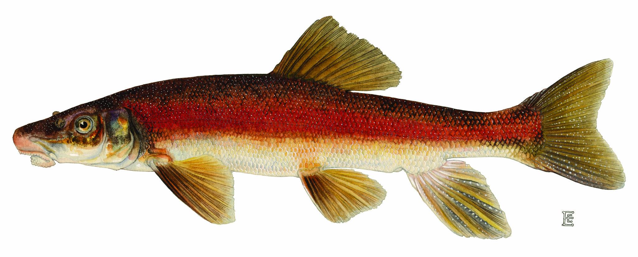 рыба чукучан