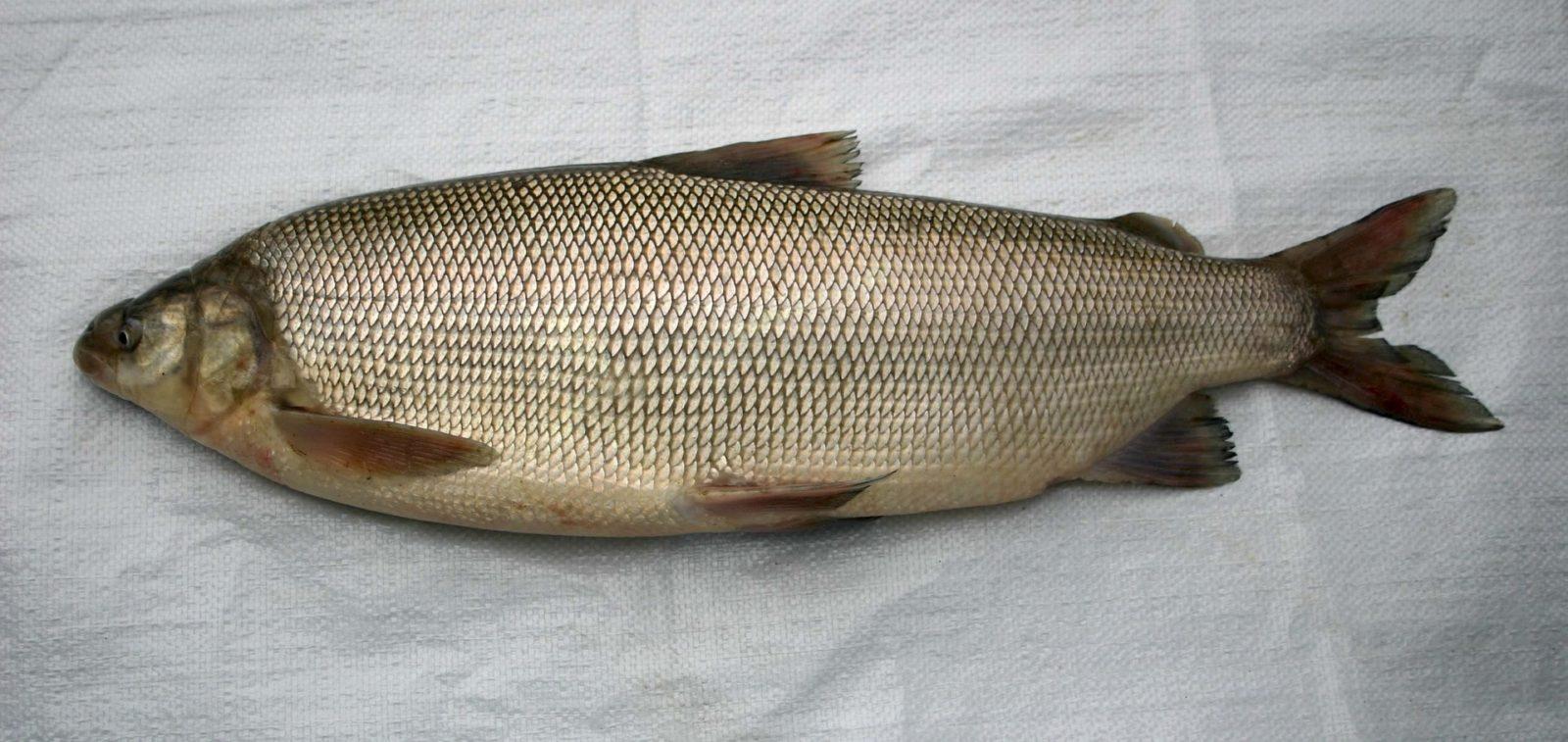 муксун рыба фото описание случаи