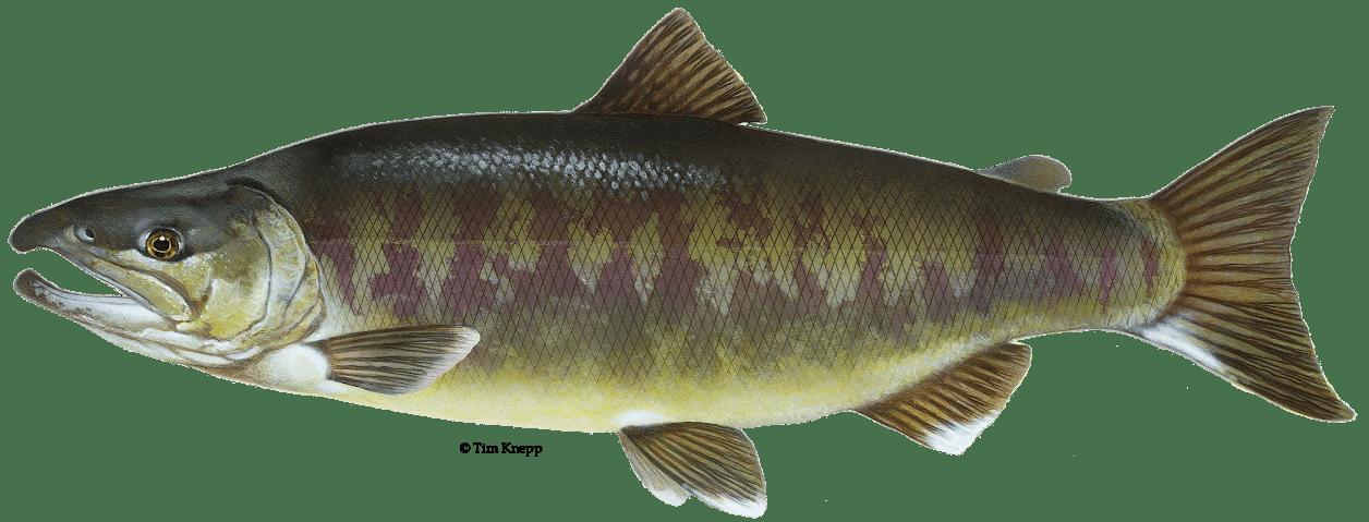 рыба кета фото и описание собраны лучшие поздравления