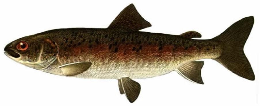 Красная рыба - виды и названия