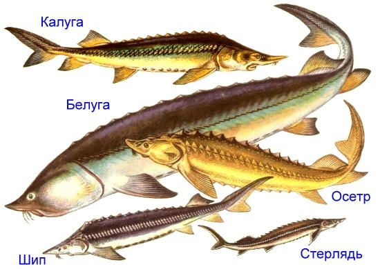 основные виды осетровых