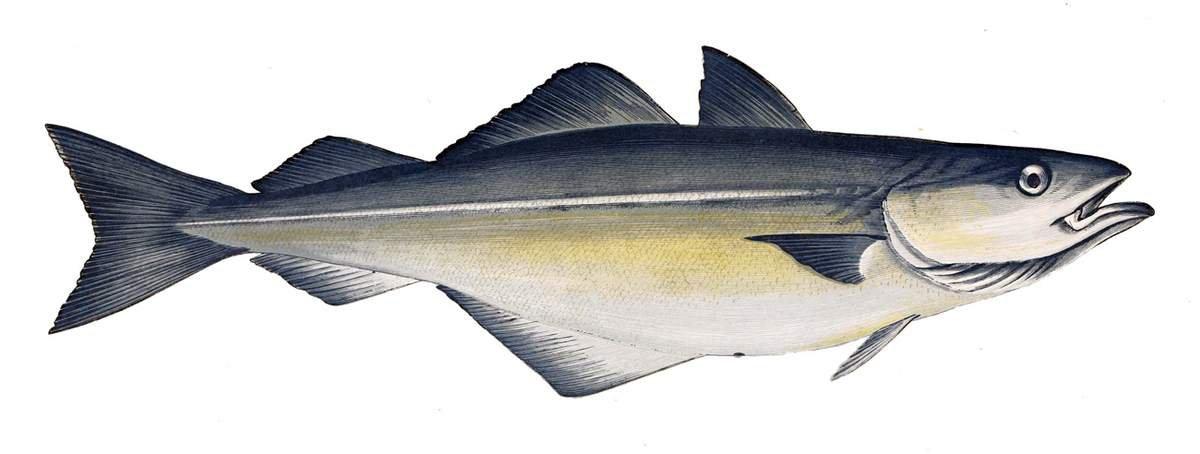январе лыжников картинки сайда рыба есть
